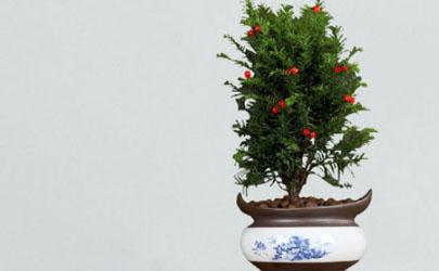 红豆杉盆栽能养在室内吗 红豆杉盆栽怎样养长得旺盛