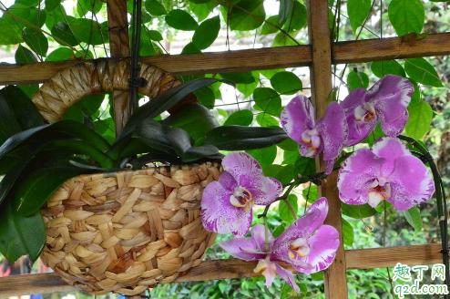 蝴蝶兰烂根是什么原因引起的图片