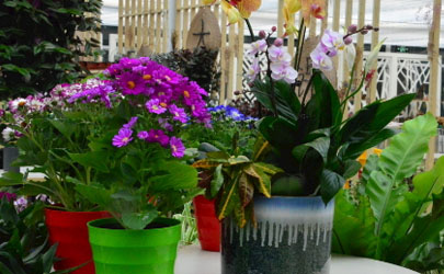 君子蘭蝴蝶蘭哪個好養 養蝴蝶蘭需注意哪些事項