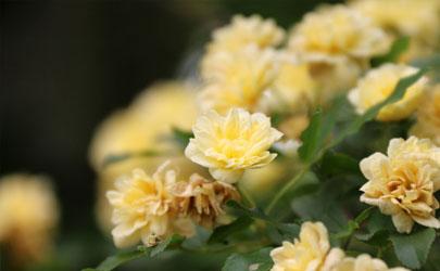 木香花好养活不 木香花怎样养花开旺盛