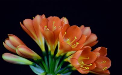 君子蘭應選擇什么肥料施肥 君子蘭花盆需要幾個排水孔