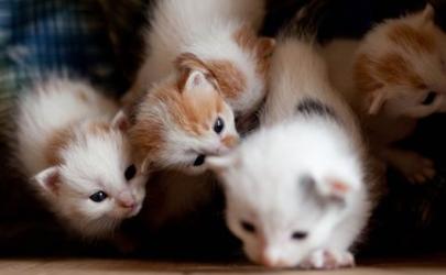 奶猫羊奶粉一次喂多少 幼猫一天喝几次羊奶粉