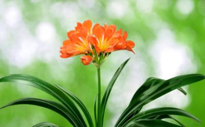 君子蘭沒出芽需要澆水嗎 群子蘭截頭后發芽時間與什么有關
