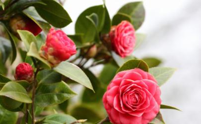 怎么可以让茶花在春节前开花 茶花在北方冬天可以露养吗