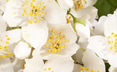 剛買的茉莉花要不要換盆 茉莉花繁殖的方法是什么
