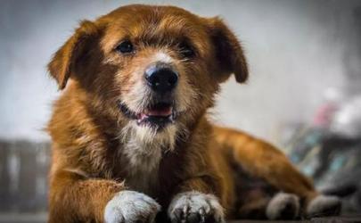 狗摇尾巴是不是代表自己的心情 狗狗高兴尾巴怎么摇