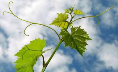 葡萄树好几年了怎么不结果呢 葡萄树基肥什么时间施肥