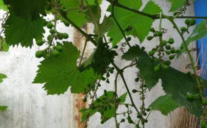葡萄树秋季可以移活吗 怎样给葡萄树修枝