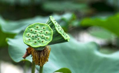 莲蓬什么季节吃的 莲蓬一次吃多少合适