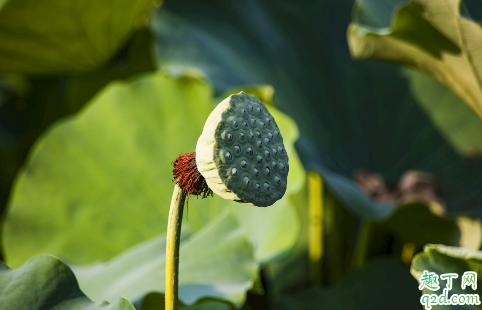 孕中期可以吃新鲜莲蓬吗 孕妇吃莲蓬哪些是要注意的1