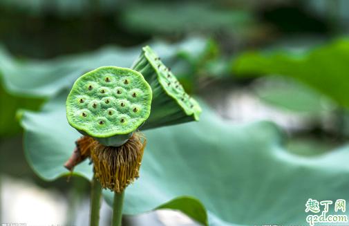 莲蓬什么季节吃的 莲蓬一次吃多少合适3