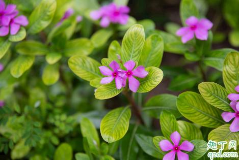 长春花可以在家中种植吗 长春花播种发芽后能晒太阳吗3