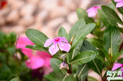 长春花可以在家中种植吗 长春花播种发芽后能晒太阳吗2