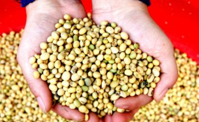 大豆荚不实怎么施肥 怎么播种避免大豆荚不实