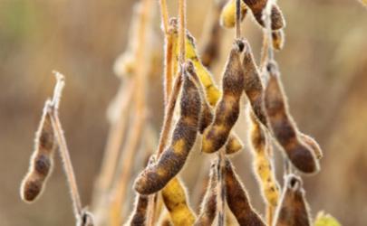 偏晚熟大豆荚不实什么情况 温度会造成大豆荚不实吗