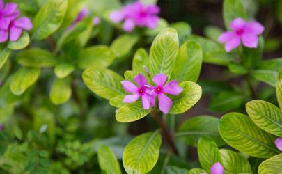长春花可以在家中种植吗 长春花播种发芽后能晒太阳吗