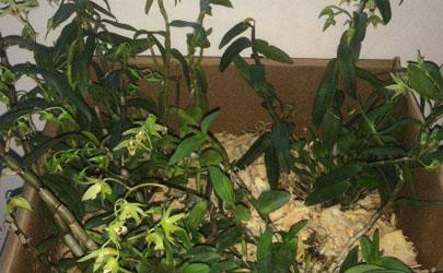 铁皮石斛怎么种植成活率高 种植铁皮石斛需要注意什么