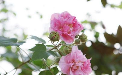 芙蓉花是冬天开的吗 芙蓉花是什么季节的花