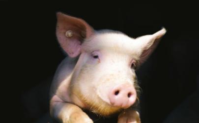 景区让猪蹦极怎么回事 为什么景区让猪蹦极