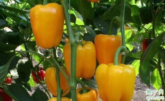 移栽辣椒要多久會活 辣椒苗移栽后灌什么肥4