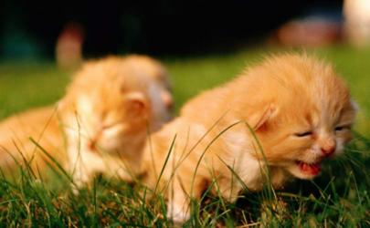 猫咪为什么会得猫艾滋 猫身上有艾滋病毒会传染人吗