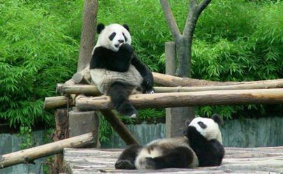 成都大熊猫基地门票在哪里买 成都大熊猫基地门票老人有优惠吗