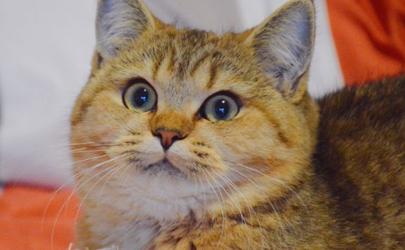 金渐层和银渐层能配吗 金渐层和银渐层生的猫是什么颜色的