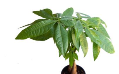 发财树有病虫害怎么办 发财树需要剪枝吗
