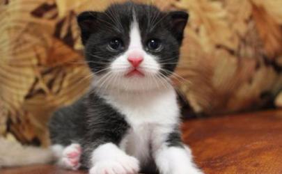 猫疱疹病毒怎么检查 猫疱疹最快治疗几天能好
