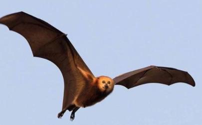 澳大利亚蝙蝠事件是真的吗 蝙蝠为什么袭击澳大利亚