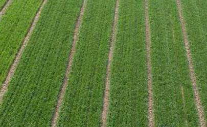 小麦喷施尿素一亩用多少合适 小麦什么时候可以喷施尿素
