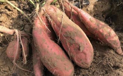 烟薯25是转基因的品种吗 烟薯25红薯品种介绍