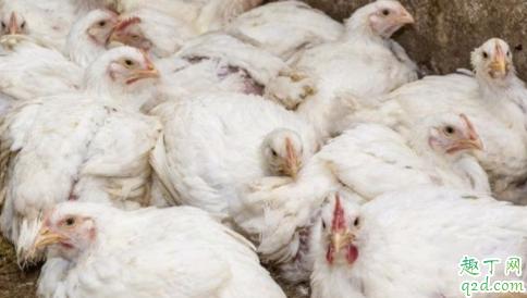 2020鸡肉为什么便宜 2020鸡肉价格下降原因1
