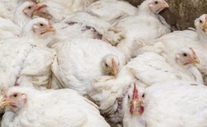 2020鸡肉为什么便宜 2020鸡肉价格下降原因