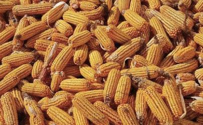 疫情过去玉米会涨价吗 2020年什么时候出售玉米最好