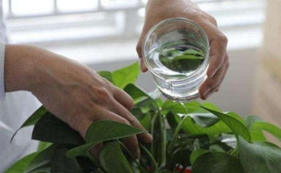 啤酒可以用来擦植物叶片吗 啤酒擦拭叶片要注意什么