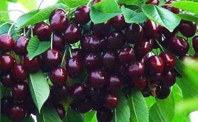 黑珍珠櫻桃可以靠種子進行繁殖嗎 黑珍珠櫻桃種植要注意什么