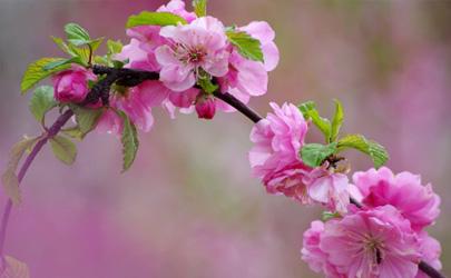 榆叶梅只长叶子不开花是什么原因 榆叶梅老不开花怎么补救