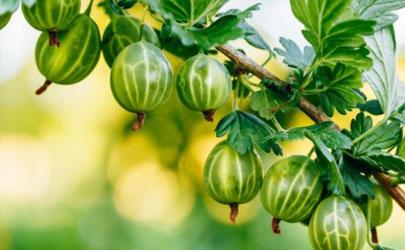 新移栽的果树能上鸡粪吗 鸡粪在什么时候使用最好