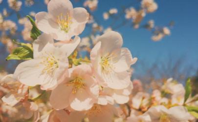 手机拍樱花怎么拍好看 樱花雨怎么拍攻略