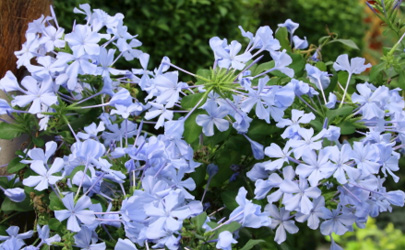 蓝雪花只长叶子不开花是怎么回事 蓝雪花只长叶子不开花怎么补救