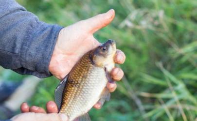 野钓鲫鱼铅皮到底好吗 春季钓鲫鱼用什么味型饵料