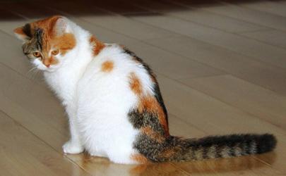 猫对新冠高度易感是真的吗 猫有新冠病毒会传染人吗