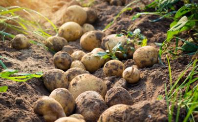 土豆追肥用什么肥料?用了这些肥料土豆养得活才怪