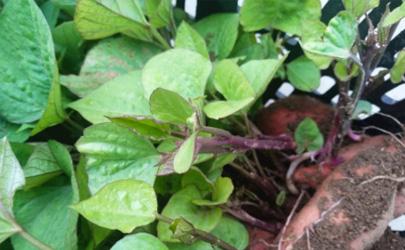 红薯怎么才能快速发芽?这些技巧一定要get到