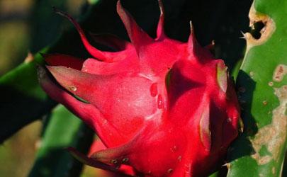 红心火龙果树啥时候能结果