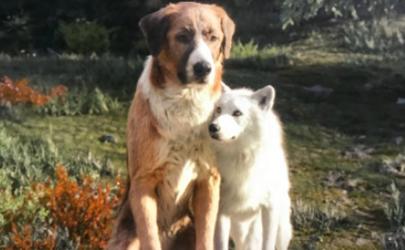 科普贴:野性的呼唤巴克是什么品种的狗