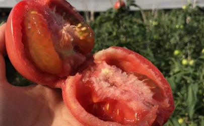 西红柿催熟的是什么药?这种西红柿一般长这样