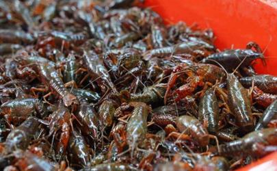 青壳和红壳小龙虾哪个好?肉多才是王道!