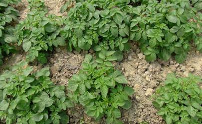 土豆高产的种植方法你都知道吗?这里给你总结好了